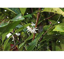 A precious spice tree Photographic Print