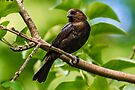 MALE BROWN-HEADED COWBIRD by Sandy Stewart
