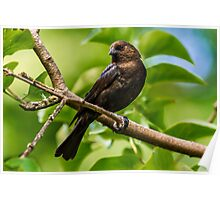MALE BROWN-HEADED COWBIRD Poster