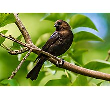 MALE BROWN-HEADED COWBIRD Photographic Print