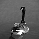 Canada Goose by Joanne  Bradley