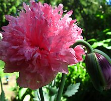 Peony poppy (Papaver Somniferum Variety Paeoniiflorum) looksAn unknown familiar by MarianBendeth