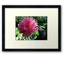 Peony poppy (Papaver Somniferum Variety Paeoniiflorum) looksAn unknown familiar Framed Print