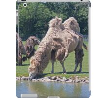 Bactrian Camels Shedding Their Winter Coat iPad Case/Skin