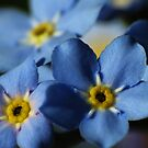 Forget-Me-Nots 7 by photonista