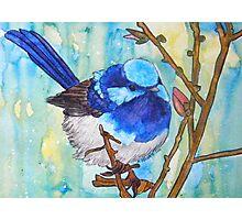 Susie's Blue Wrens III Photographic Print