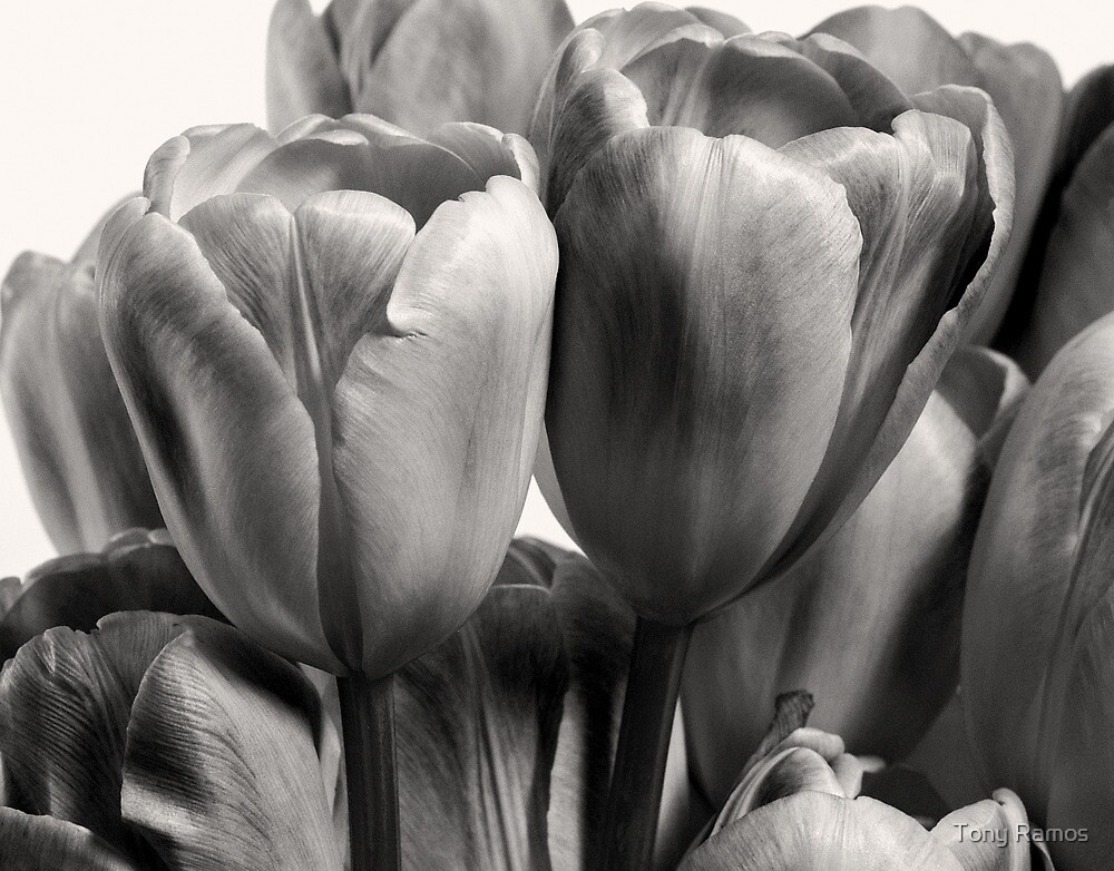 Dark Tulips by Tony Ramos