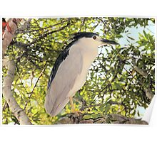 Yellow Crown Night Heron Poster