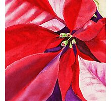 Christmas Red Poinsettia  Photographic Print