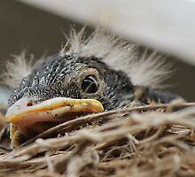 Baby robins by Jeanette Muhr