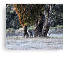Kangaroos of Hill End NSW Australia Canvas Print