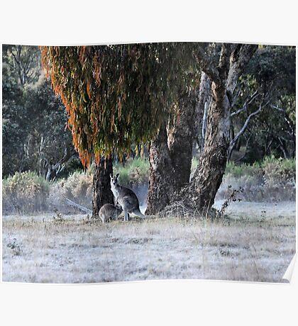 Kangaroos of Hill End NSW Australia Poster