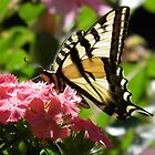 Western Tiger Swallowtail and Sweet William by Jamie Peterson