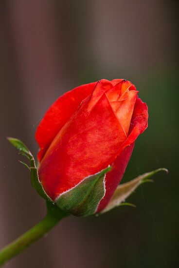 New Rose by Ray Clarke