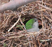 Quaker/Monk Parakeet Building Nest by GreyFeather