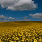 Rapeseed Field by jamesdt