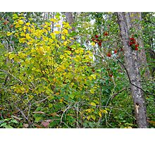 Cranberries in autumn Photographic Print
