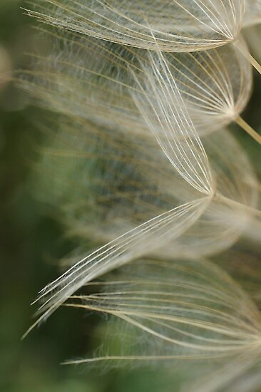 Salsify Seeds by marens