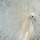 peacock by janik