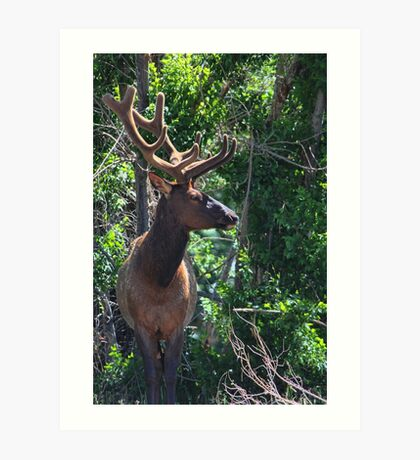 Magnificent Elk Art Print