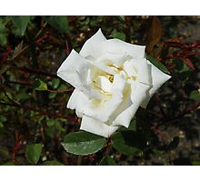 Single White Rose Photographic Print