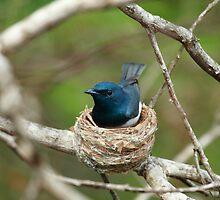 Satin Flycatcher (Male) by CBoyle