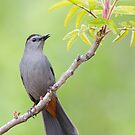 Gray Catbird on Sumac. by Daniel Cadieux