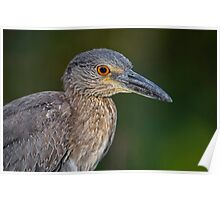 Yellow Crowned Night Heron Portrait Poster