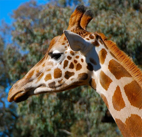 Giraffe profile #2 by Penny Smith