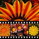 Bright Gazania Collage by Eve Parry