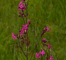 Red Campion in Burntollet Woods by George Row