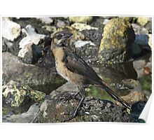 A well camofloughed female boat tailed grackle Poster