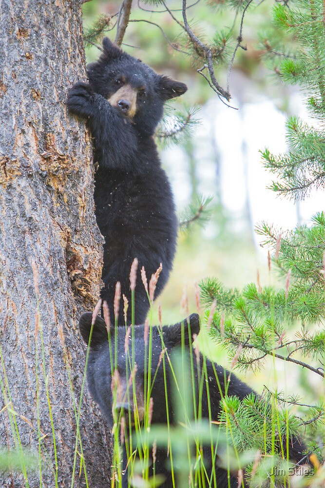 Baby Bear and Momma by Jim Stiles