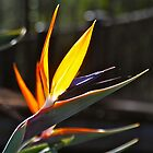 Bird of Paradise  by peasticks