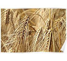 Golden barley Poster