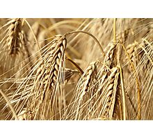 Golden barley Photographic Print