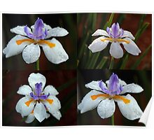 Collage of Dietes Bicolour Flowers in Rain Poster
