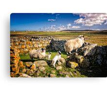 Sheep in Church Canvas Print
