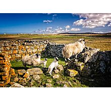 Sheep in Church Photographic Print