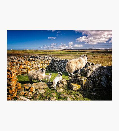 Sheep in Church Photographic Print