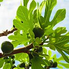 Figs of Ephesus by Mary-Elizabeth Kadlub