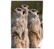 Watching Meerkats Poster