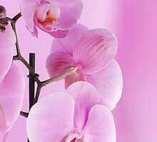 Pink orchids by homydesign