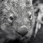 Suzie The Wombat II by Josie Eldred