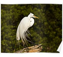 Great Egret - Chincoteague Poster