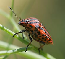 Italian Striped-Bug by marens