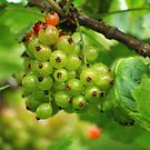 Red Currants - Soon Ripe by karina5