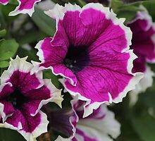Petunias by karina5