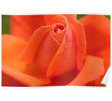 Orange High Sheriff  Rose Poster