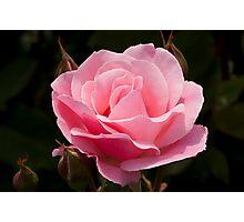 Queen Elizabeth Rose Photographic Print